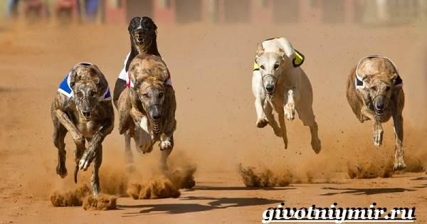 Уиппет-собака-Описание-особенности-уход-и-цена-породы-уиппет-6