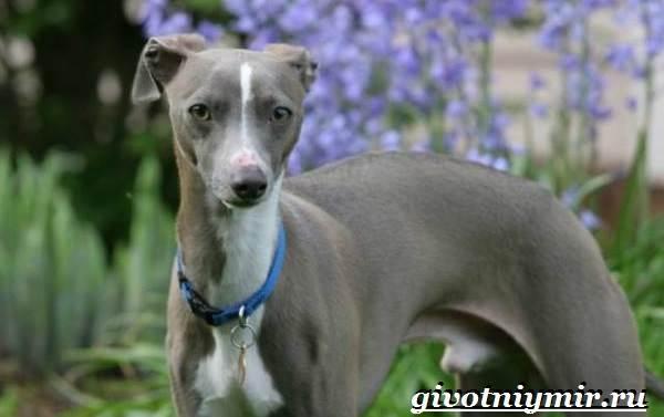 Уиппет-собака-Описание-особенности-уход-и-цена-породы-уиппет-7