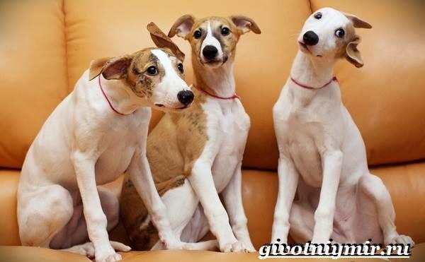 Уиппет-собака-Описание-особенности-уход-и-цена-породы-уиппет-9