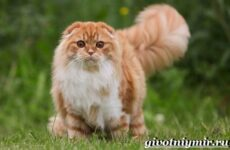Хайленд фолд кошка. Описание, особенности, уход и цена кошки породы хайленд фолд