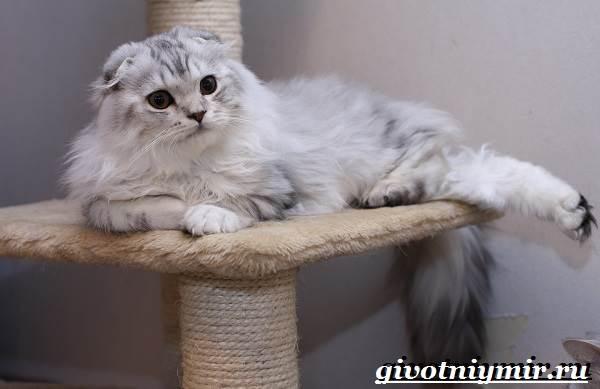 Хайленд-фолд-кошка-Описание-особенности-уход-и-цена-кошки-породы-хайленд-фолд-2
