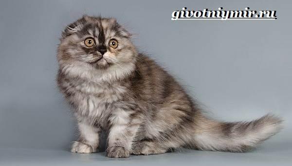 Хайленд-фолд-кошка-Описание-особенности-уход-и-цена-кошки-породы-хайленд-фолд-4