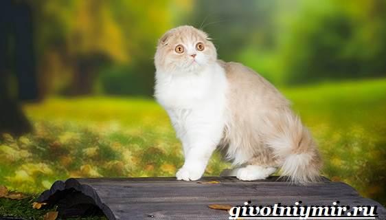 Хайленд-фолд-кошка-Описание-особенности-уход-и-цена-кошки-породы-хайленд-фолд-6