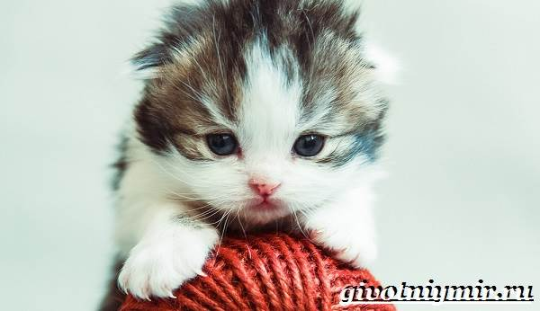 Хайленд-фолд-кошка-Описание-особенности-уход-и-цена-кошки-породы-хайленд-фолд-7