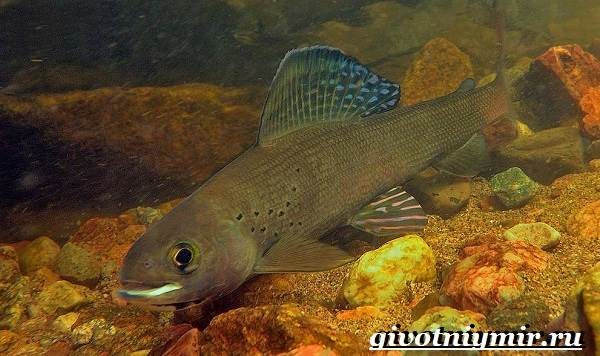 Хариус-рыба-Образ-жизни-и-среда-обитания-рыбы-хариус-1