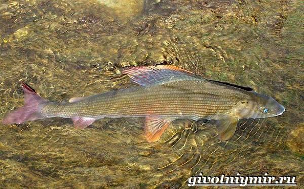 Хариус-рыба-Образ-жизни-и-среда-обитания-рыбы-хариус-2