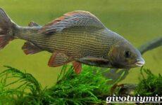 Хариус рыба. Образ жизни и среда обитания рыбы хариус