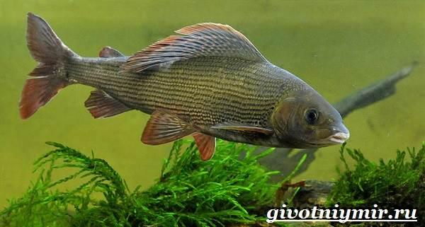 Хариус-рыба-Образ-жизни-и-среда-обитания-рыбы-хариус-3