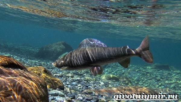 Хариус-рыба-Образ-жизни-и-среда-обитания-рыбы-хариус-4
