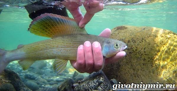 Хариус-рыба-Образ-жизни-и-среда-обитания-рыбы-хариус-5
