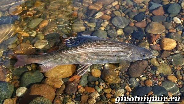 Хариус-рыба-Образ-жизни-и-среда-обитания-рыбы-хариус-6