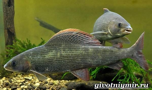 Хариус-рыба-Образ-жизни-и-среда-обитания-рыбы-хариус-7