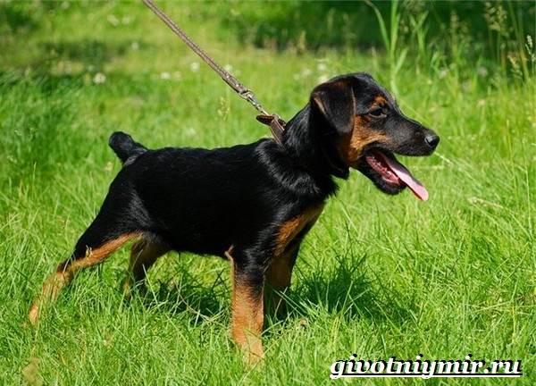 Ягдтерьер-порода-собаки-Описание-особенности-уход-и-цена-ягдтерьера-3
