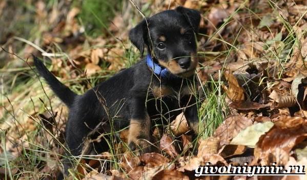 Ягдтерьер-порода-собаки-Описание-особенности-уход-и-цена-ягдтерьера-5