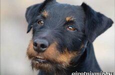 Ягдтерьер порода собаки. Описание особенности, уход и цена ягдтерьера