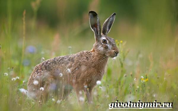Заяц-русак-Образ-жизни-и-среда-обитания-зайца-русака-2
