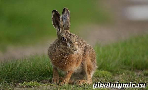 Заяц-русак-Образ-жизни-и-среда-обитания-зайца-русака-4