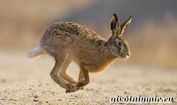 Заяц-русак-Образ-жизни-и-среда-обитания-зайца-русака-6-1