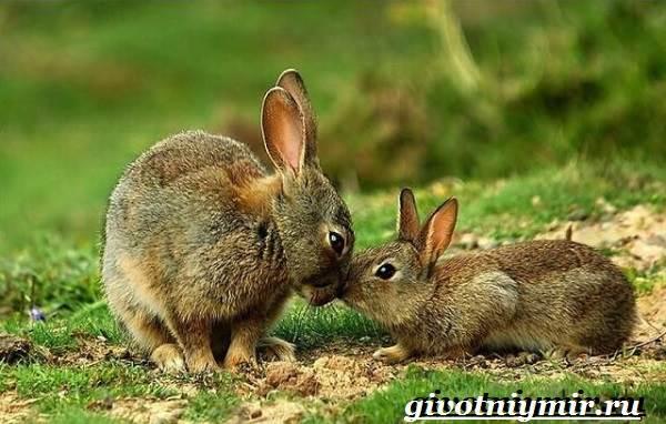 Заяц-русак-Образ-жизни-и-среда-обитания-зайца-русака-7