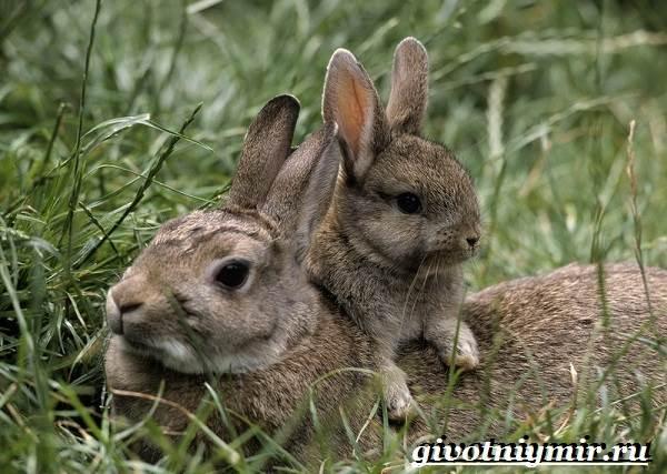 Заяц-русак-Образ-жизни-и-среда-обитания-зайца-русака-8