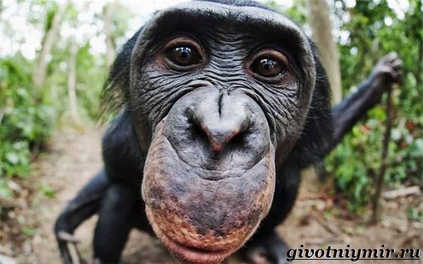 Бонобо любит заниматься сексом