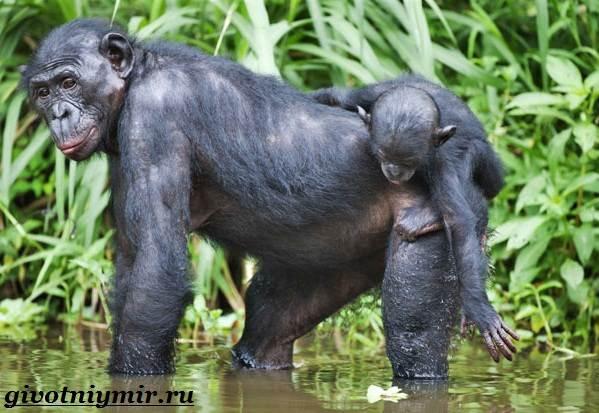 Секс обезьян шимпанзе бонобо
