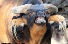 Буйвол животное. Образ жизни и среда обитания буйвола