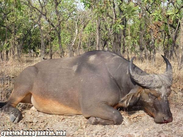 Буйвол-животное-Образ-жизни-и-среда-обитания-буйвола-4