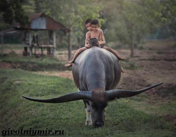 Буйвол-животное-Образ-жизни-и-среда-обитания-буйвола-5