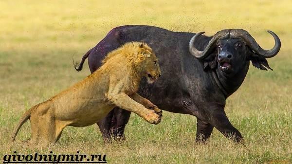 Буйвол-животное-Образ-жизни-и-среда-обитания-буйвола-9