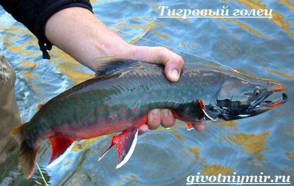 риба голець