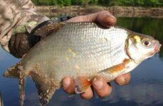 Густера рыба. Образ жизни и среда обитания рыбы густера