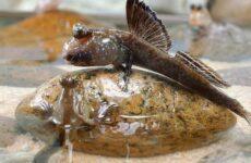 Илистый прыгун рыба. Образ жизни и среда обитания илистого прыгуна