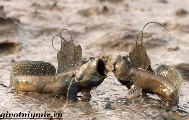Илистый-прыгун-рыба-Образ-жизни-и-среда-обитания-илистого-прыгуна-2
