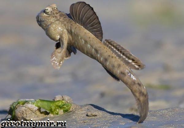 Илистый-прыгун-рыба-Образ-жизни-и-среда-обитания-илистого-прыгуна-3