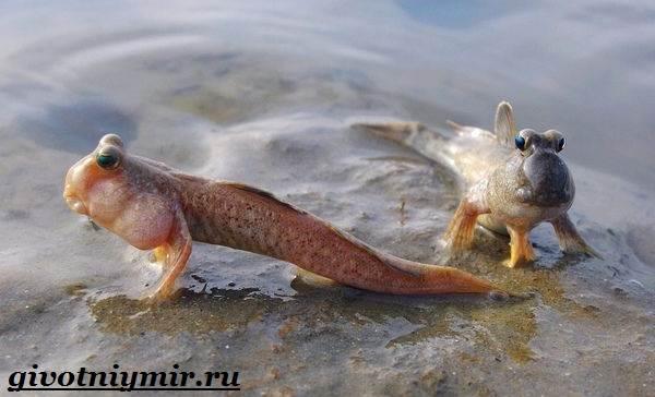 Илистый-прыгун-рыба-Образ-жизни-и-среда-обитания-илистого-прыгуна-6