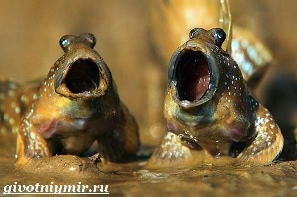 Илистый-прыгун-рыба-Образ-жизни-и-среда-обитания-илистого-прыгуна-7