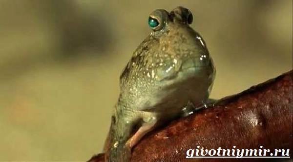 Илистый-прыгун-рыба-Образ-жизни-и-среда-обитания-илистого-прыгуна-8