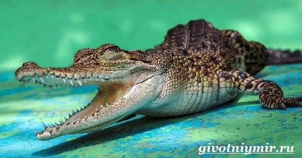 Кайман-крокодил-Образ-жизни-и-среда-обитания-каймана-3