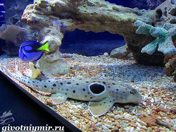Кошачья-акула-Образ-жизни-и-среда-обитания-кошачьей-акулы-5