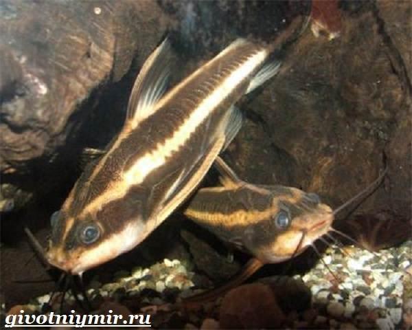 Платидорас-сом-Описание-особенности-виды-и-содержание-сома-платидораса-5