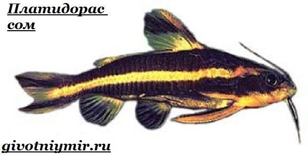 Платидорас-сом-Описание-особенности-виды-и-содержание-сома-платидораса-7