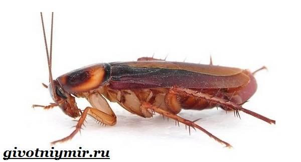 Рыжий-таракан-Образ-жизни-и-среда-обитания-рыжего-таракана-1