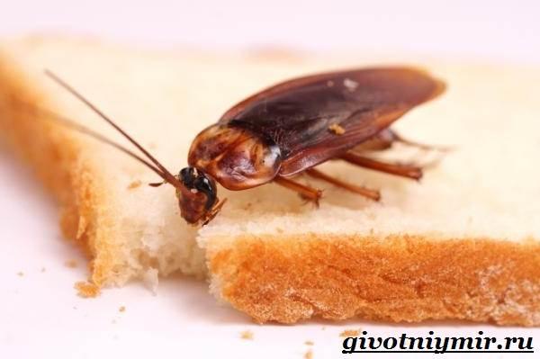 Рыжий-таракан-Образ-жизни-и-среда-обитания-рыжего-таракана-10