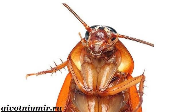 Рыжий-таракан-Образ-жизни-и-среда-обитания-рыжего-таракана-2
