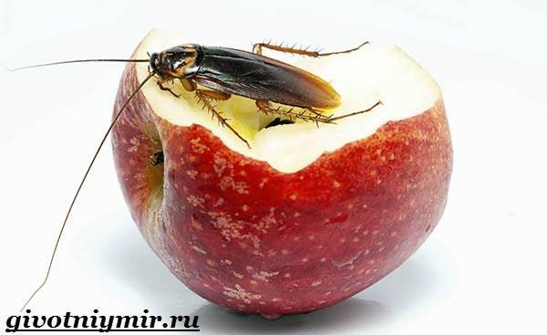 Рыжий-таракан-Образ-жизни-и-среда-обитания-рыжего-таракана-3