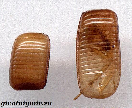 Рыжий-таракан-Образ-жизни-и-среда-обитания-рыжего-таракана-4