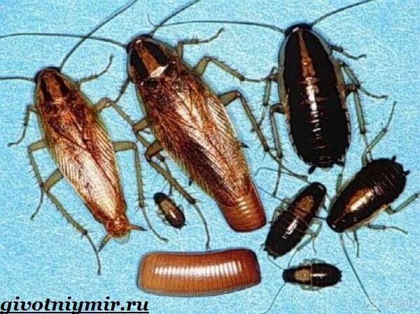 Рыжий-таракан-Образ-жизни-и-среда-обитания-рыжего-таракана-6-1
