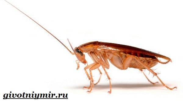 Рыжий-таракан-Образ-жизни-и-среда-обитания-рыжего-таракана-9