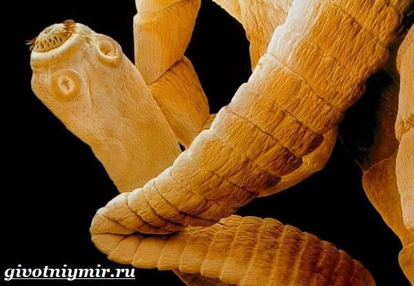 свиной цепень фото паразита